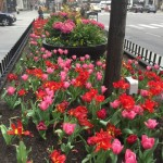MagMile pink and red tulips