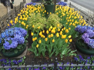 MagMile award winning tulips