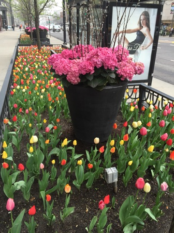 Mag Mile pink and yellow tulips