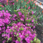 MagMile azalea and tulips